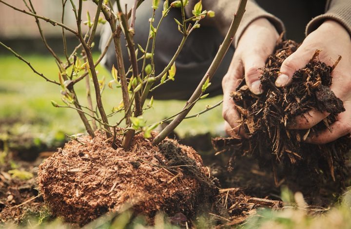 How To Plant Evergreen Shrubs
